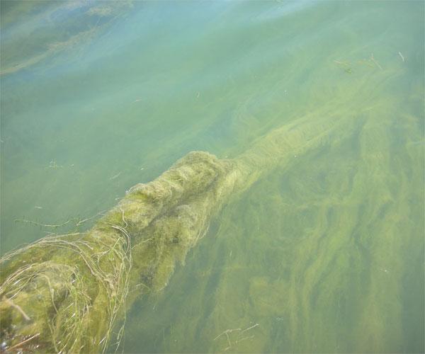 algae 0516