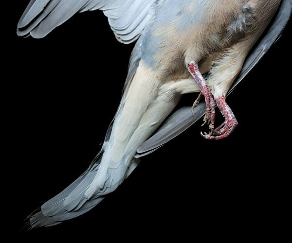 Bidwell Dove
