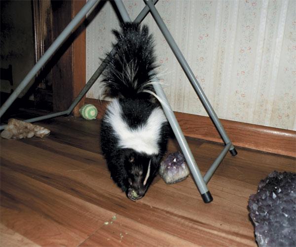 Tank the Skunk