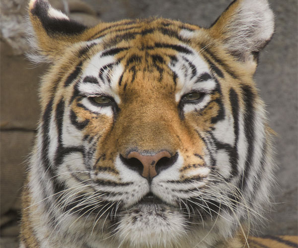 Rosebrough Tiger Passage