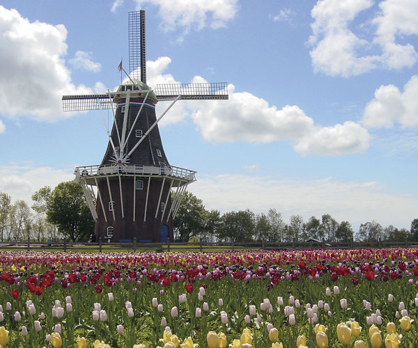 Thumb_DeZwaan-Windmill--Tulips