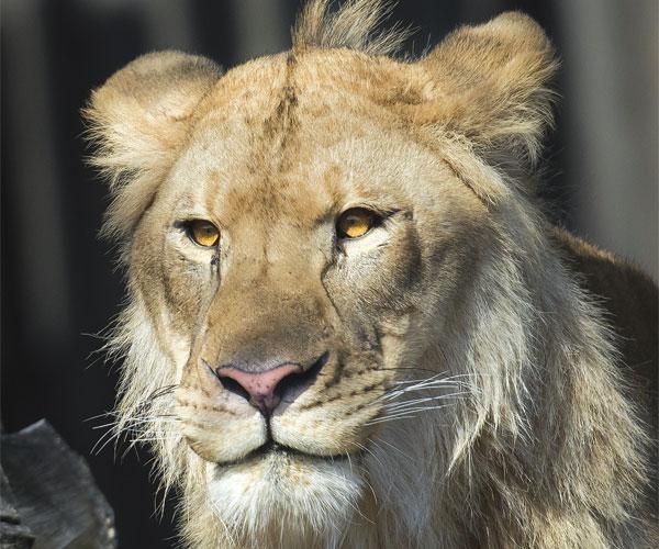 Doc the Lion